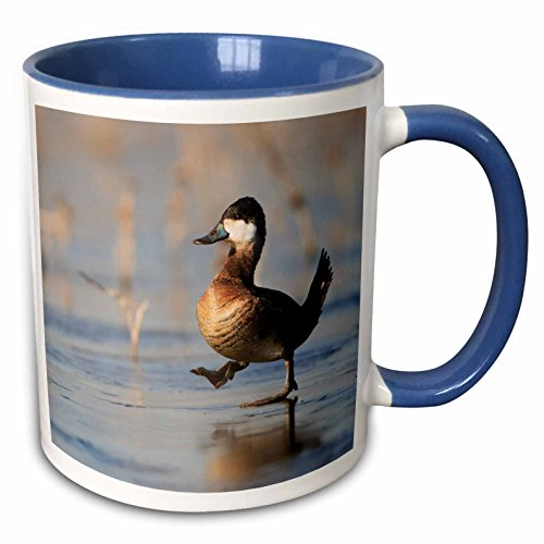 3dRose Danita Delimont - Ducks - California, Ruddy Duck, male, walking on ice - US05 GLU0007 - Gary Luhm - 11oz Two-Tone Blue Mug (mug_88404_6) (Ruddy Ducks)