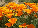 buy Orange California Poppy Seeds, 1 Oz, Over 20,000 Seeds by Seeds2Go now, new 2019-2018 bestseller, review and Photo, best price $3.48