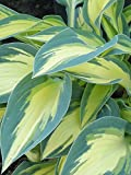 Burpee Bare Root Hosta 'Magic Island' - 3 Bare Root Plants