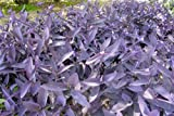 7 Cuttings Purple Heart Wandering Jew - Tradescantia Pallida Purpurea Plant