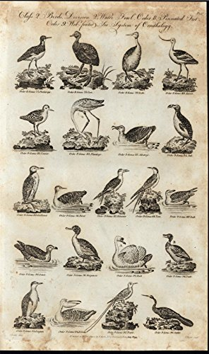 Pelican Penguin Petrel Duck Gull Tern Skimmer Diver 1795 antique engraved print