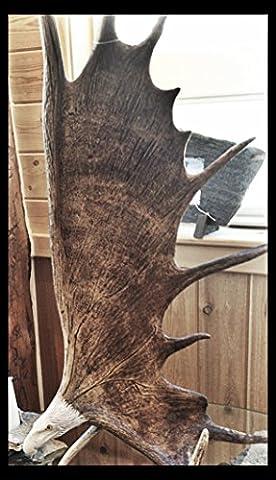 Moose Antler Carving, Soaring Eagle With Eagle Head Carving and Antler Base 20 - 24 Inches - Antler Carving