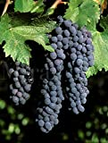 Syrah (Shiraz) CL 06 Wine Grape Vine - Plantable