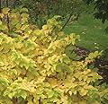Arctic Sun™ Cornus sanguinea 'Cato' - Red Twig Dogwood-Very Hardy-Proven Winners