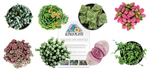 Altman Plants Succulents Fairy Garden Collection 8 Pack, 2.5'' by Altman Plants