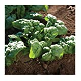 David's Garden Seeds Spinach Bloomsdale Long Standing SL6711 (Green) 500 Non-GMO, Organic, Heirloom Seeds