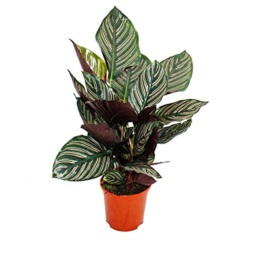 Shadowplant with unusual leafpatterns - Calathea ornata - 14cm pot - 45-50cm tall exotenherz