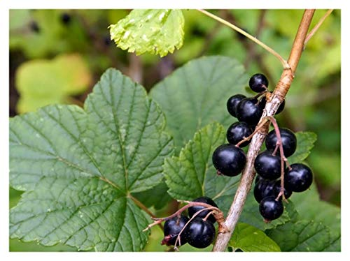 Black Currant – Cold Hardy Bush – Established – 2 Gallon Potted – 1 Plant by Growers Solution by Grower's Solution