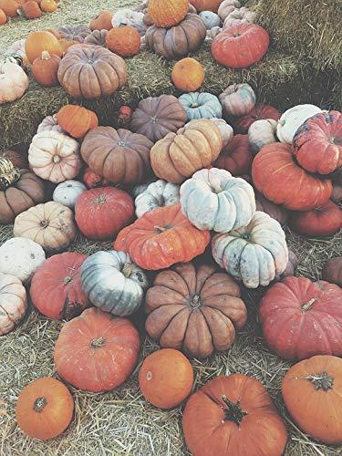 Home Comforts Canvas Print Vegetables Fresno Pumpkins Halloween Pumpkin Vivid Imagery Stretched Canvas 32 x -