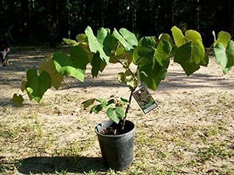 Concord UVA vid 1 gal. Plantas enredaderas viñedo hogar jardín plantas saludable uvas: Amazon.es: Jardín