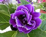Mr.seeds Purple Gloxinia Seeds Perennial Flowering Plants Sinningia Speciosa Bonsai Balcony Flower for DIY Home & Garden - 100 PCS