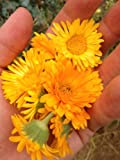 Resina Calendula Flower Seeds (~75): Certified Organic, Non-GMO, Heirloom, Open Pollinated Seeds from the United States