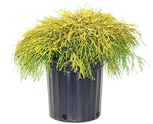 Golden Mop - Chamaecyparis p. f. 'Aurea' (Gold Thread Cypress) Evergreen, yellow foliage, #2 - Size Container