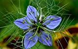 Black Cumin Plant Seed (Nigella Sativa) Medicinal&culinary Herb 1,000 Seeds