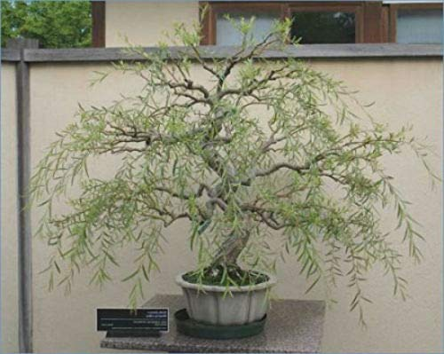 Bonsai Dragon Willow Corscrew Tree Live Indoor Plant Large Thick Trunk Best