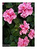 10 Seeds Hibiscus Mutabilis, Confederate Rose Seeds,
