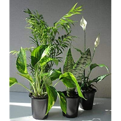 AchmadAnam - Live Plant Clean Air Plants Collection of The Four Best for Your Home in Four Inch Pots : Garden & Outdoor