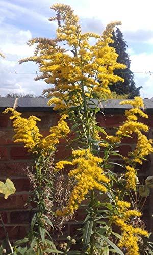 1000+ Giant Goldenrod Wild Flower Seeds Solidago gigantea UK Grower bee Favorite (Best Wildflower Seeds Uk)