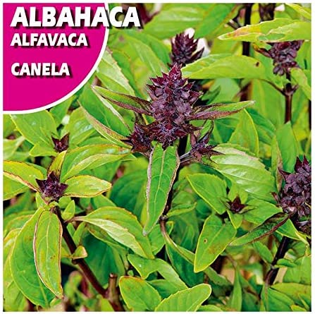 seeds Albahaca  aroma CANELA  basil lemon 300 semillas