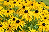 Sweet Yards Seed Co. Black Eyed Susan Seeds - Extra Large Packet - Over 100,000 Open Pollinated Non-GMO Wildflower Seeds - Rudbeckia hirta