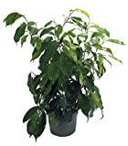 Live Ficus Benjamina Plant Fit 1 Quart Pot - Premium Foliage Houseplant - Easy to Grow