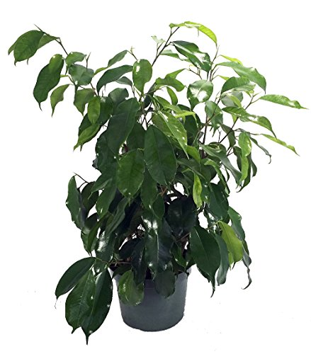 Weeping Ficus Tree - 7