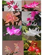 Sclumbergera truncata (Flor de Maio) 10 plantas adultas cores diferentes