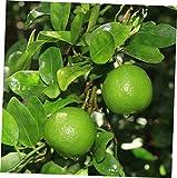 HZI 1 Starter Plug Tree Key Lime Live Plant Citrus x Aurantiifolia Starter Plug - RK157