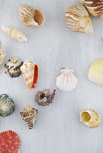 Review Shell Vase Filler 3lbs