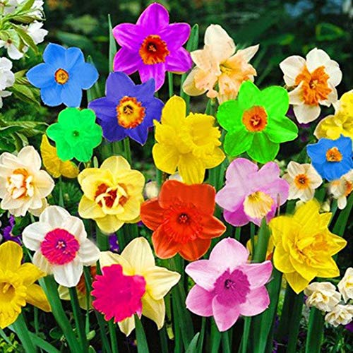 Lioder 50Pcs Mixed Double Narcissus Flower Seeds Bulbs Scented Daffodil Garden Perennial Decor Multicolor
