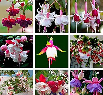 (Mr.seeds 9 Kinds of Fuchsia Perennial Flower Seeds Can be Choose Potted Flowers DIY Planting Flowers Bell Flower Seeds - 100 PCS)