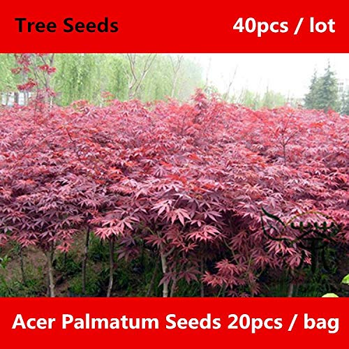 ^^Deciduous Tree Acer Palmatum ^^^^ 40pcs, Landscaping Smooth Japanese Maple ^^^^, Widely Cultivated Beautifying Hong Feng ^^^^