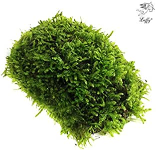 Luffy Coco Mini Moss, Builds a Beautiful and Natural Aquascape, Easy Care, Hardy and Long Lasting Plant, Filters and Provides Aquariums with Oxygen