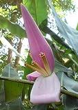TROPICA - Banano keniano (Musa velutina) - 8 Semi- Piante utili