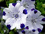 2000 FIVE SPOT Flower Seeds - Nemophila maculata low spreading habit. grows very fast