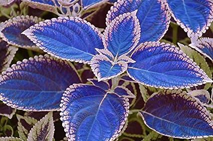 semillas azul coleo 100 / bag, plantas con flores hermosas, balcón en maceta bonsai