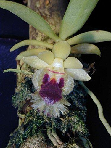 Haraella odorata - Orchid Plant - Miniature - Fragrant - Easy-Grower - Vivarium - Terrarium - Indigenous to Taiwan