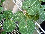 Aristolochia fimbriata   White Veined Dutchmans Pipe   20_Seeds