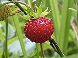 Red Wild Strawberry 'Rugen' (Fragaria Vesca L.) Berry Plant Seeds, Perennial Heirloom