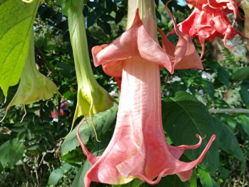 Brugmansia Angel Trumpet - PINK PERFECTION or Perfektion Brugmansia Angels Trumpet Live Tropical Plant Fragrant Fancy Double Coral Rose Starter Size 4 Inch Pot Emeralds TM