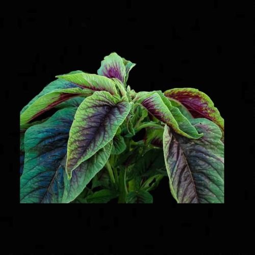 AMARANTH RED CALLALOO 500 SEEDS Amaranthus Tricolor Chinese Medicinal Herb USA