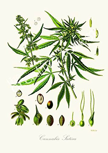 Cannabis-Sativa-Vintage-Plant-Growth-Cycle-Illustration-Reproduction-Print-on-Canvas-24x32-in