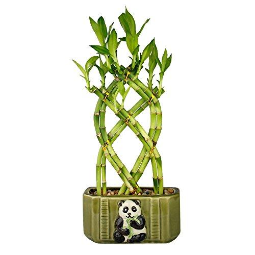 NW Wholesaler - Live Lucky Bamboo 8 Stalk Braided Trellis with Green Ceramic Panda Design Planter