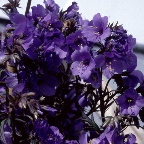 40+ PURPLE RAIN POLEMONIUM JACOB'S LADDER FLOWER SEEDS / SHADE LOVING ()