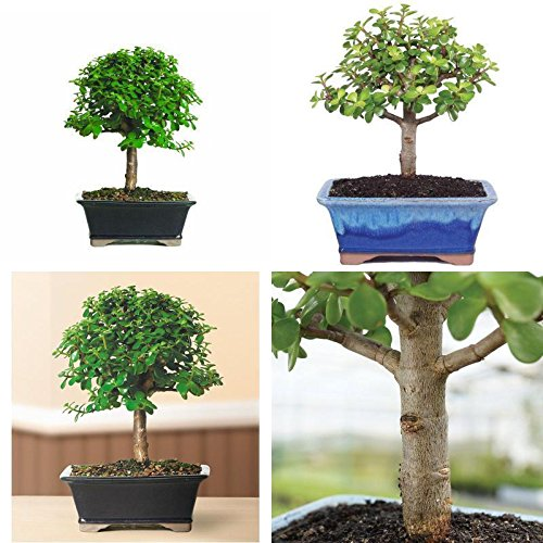 Bonsai Brussel's Jade Dwarf Plant Tree indoor Pot Houseplant Gift Leaves New by gk_usa_mall