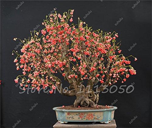 Rare Wax Seed Heirloom Sweet Semente De Frutas Tropicais, Outdoor Bonsai Ornamental Plants Can Edible 20 Pcs On Sale 4