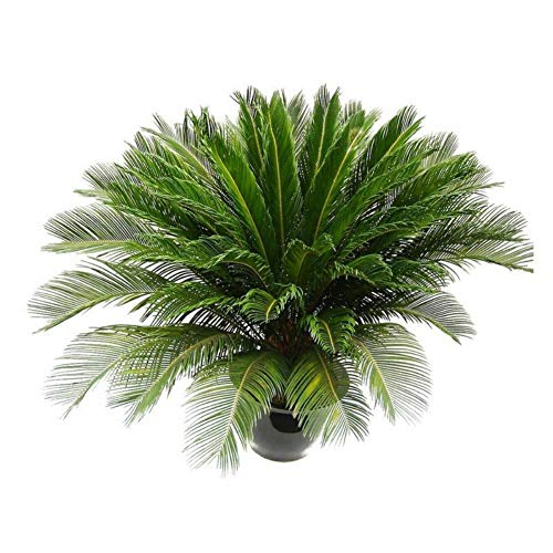 Beautiful Cycad Seeds Sago Palm Tree Seeds Bonsai Seeds Garden Decor