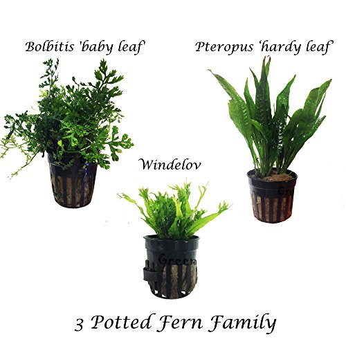 3 Water Fern Package Bolbitis | Windelov | Pteropus Hardy Leaf Live Potted Aquarium Plants for Freshwater Fish Tank by Greenpro by GreenPro