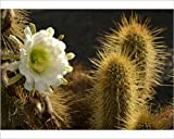 10x8 Print of Midnight Lady cactus -Harrisia pomanensis-, flower in the morning sun (12505571)