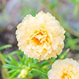 Portulaca Flower Seed - Sundial Series - 1000 MultiSeed Pellet Seeds - Cream Blossoms - Annual Flower Gardening - P. grandiflora